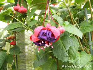 Fuchsia_02'Dark-Eyes'.JPG