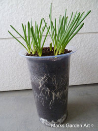 Bulbs-in-pot2011_07_11-03.JPG