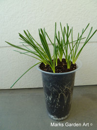 Bulbs-in-pot2011_08_11-03.JPG