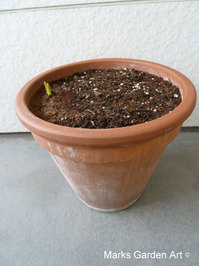 Bulbs-in-pot2011_10_10-25.JPG
