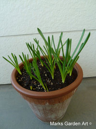 Bulbs-in-pot2011_12_11-07.JPG