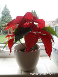 Poinsettias_01.JPG