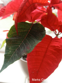Poinsettias_02.JPG