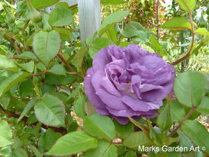 Rosa_Blue_for_You_01.JPG