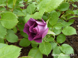 Rosa_Blue_for_You_03.JPG