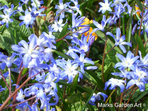 Bulbs_14_Chionodoxa.spp_01.JPG