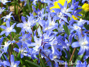 Bulbs_15_Chionodoxa.spp_02.JPG