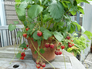 Berries_06_Strawberries_01.JPG