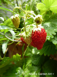 Berries_07_Strawberries_02.JPG