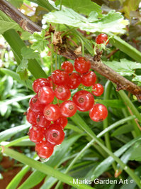 Berries_09_Red-Current_01.JPG