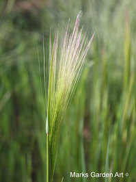 Hakuba_Grass_03_June.JPG